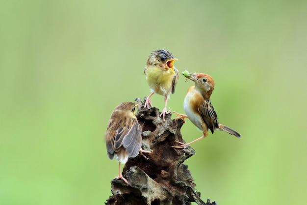 Baby cisticola juncidis vogel wacht op eten van zijn moeder