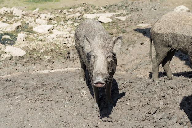 Baby everzwijn op de moddervloer