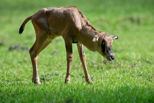 Baby gemsbok in gras, nationaal park van kenia
