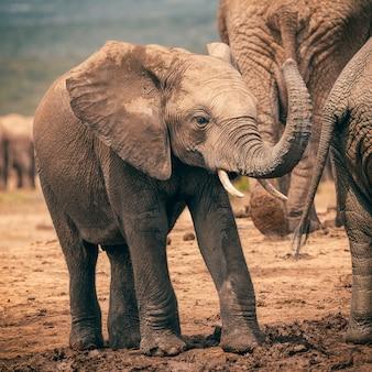 Baby het afrikaanse olifant spelen met boomstam in het nationale park van addo, zuid-afrika