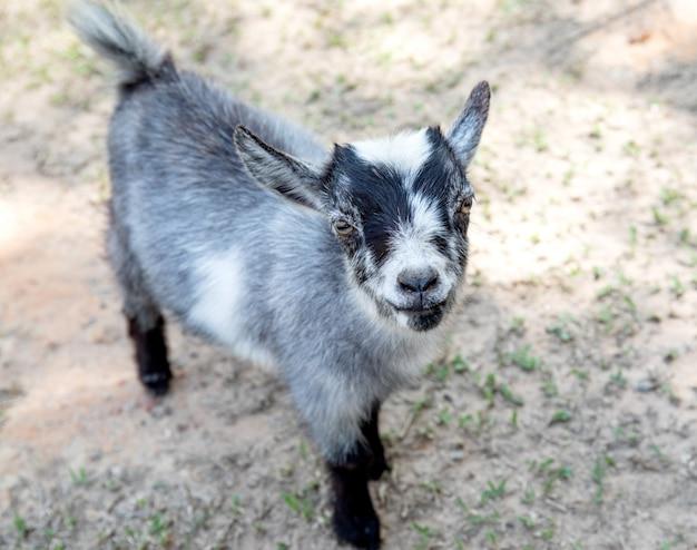 Baby het leuke zwarte en grijze geit glimlachen