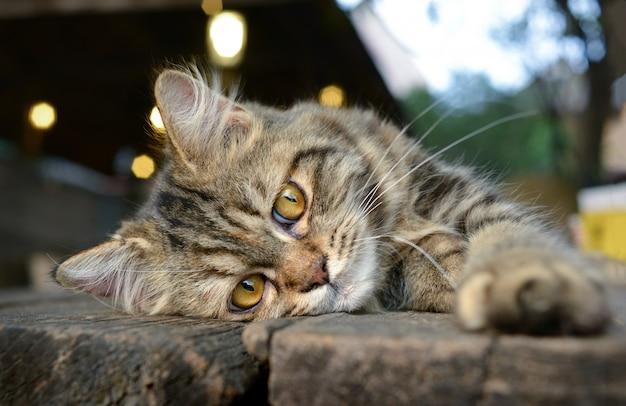 Baby maine coon cat-gevoel