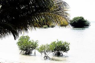 Baby mangroven