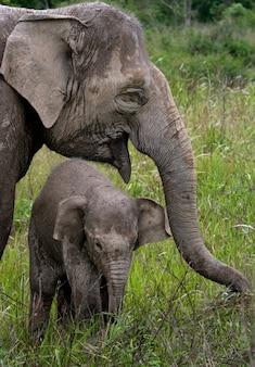 Baby met moeder van de aziatische olifant. indonesië. sumatra. way kambas national park.