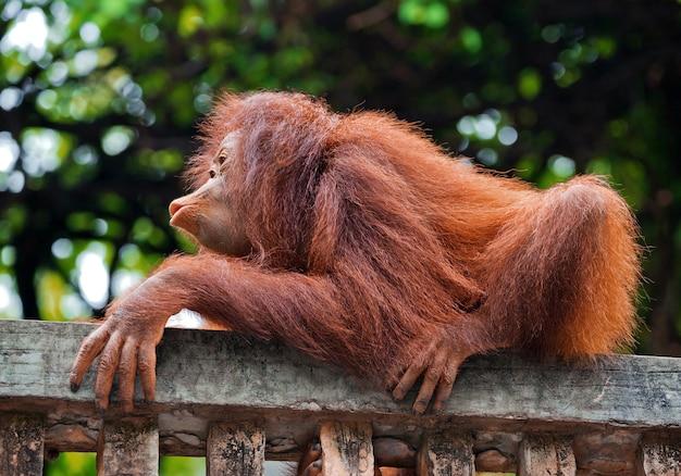 Baby orang-oetan speelt in de natuur van een dierentuin.