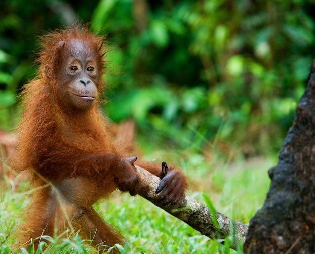 Baby orang-oetan speelt met een houten stok. indonesië. het eiland borneo (kalimantan).