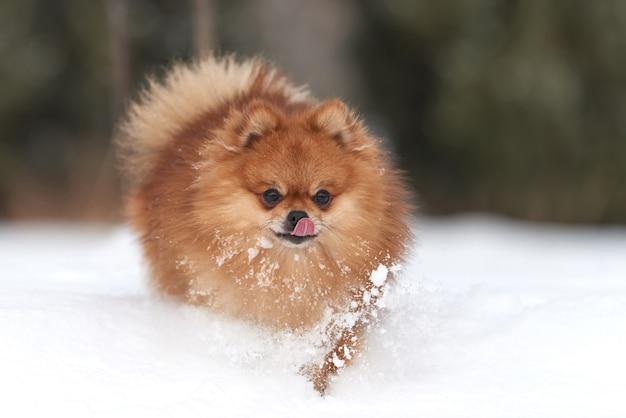 Baby pommeren spitz spelen in winterdag