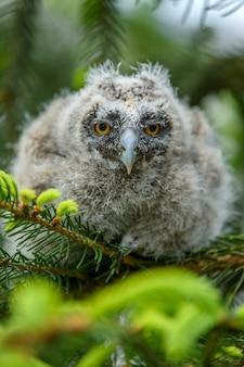 Baby ransuil uil in het bos, zittend op een boomstam in de boshabitat. prachtig klein dier in de natuur