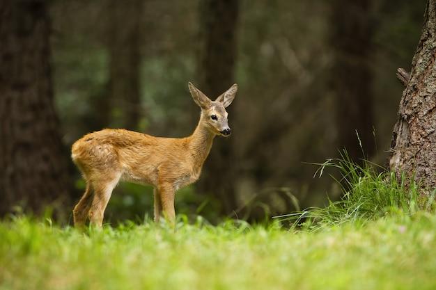 Baby reeën die zich in bos tijdens de zomer bevinden.