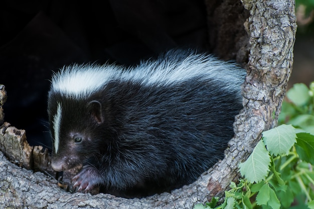 Baby skunk in een holle log