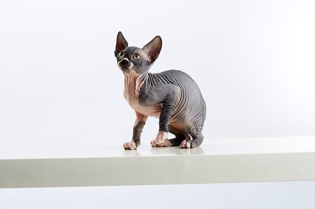 Baby sphinx kitty opzoeken. studio opname. witte achtergrond