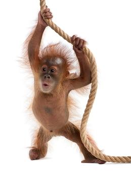 Baby sumatraanse orang-oetan, staand