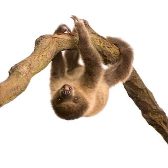 Baby tweevingerige luiaard, choloepus didactylus op een wit geïsoleerd