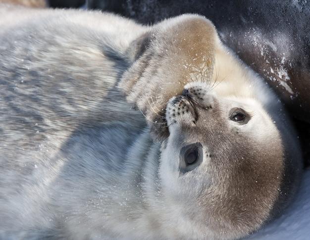 Baby zeehond