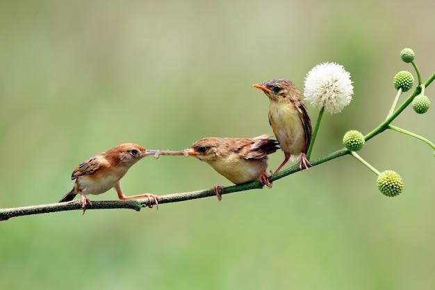 Baby zitting cisticola-vogel wacht op eten van zijn moeder zitting cisticola-vogel op tak