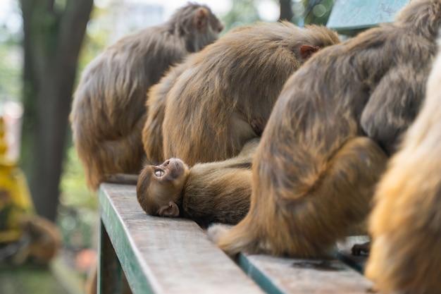 Babyaap slaapt tussen volwassen apen in de swayambhunath-tempel of apentempel in kathmandu, nepal. stock foto.