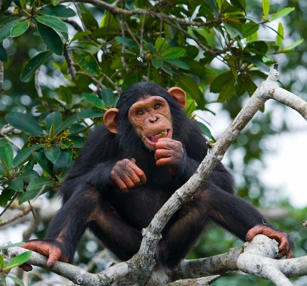 Babychimpansee op mangrovetakken
