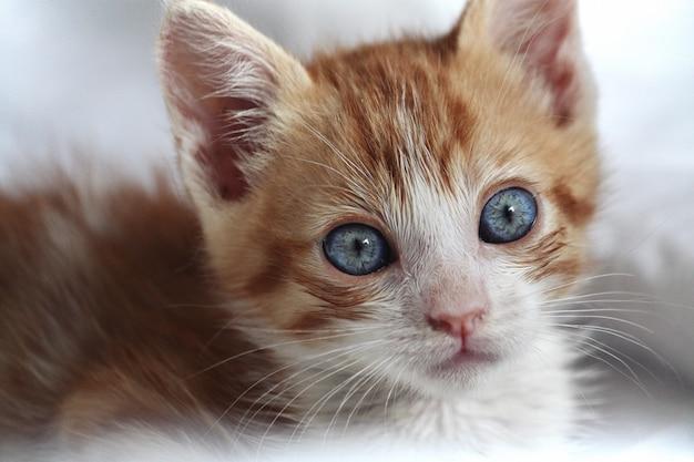 Babykat oranje en wit met blauwe ogen van voren gezien