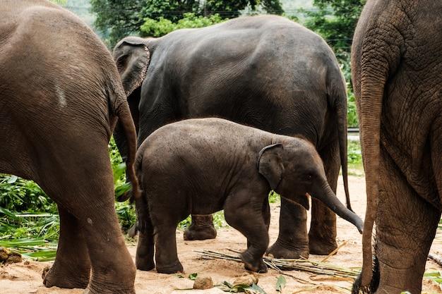 Babyolifant en familie