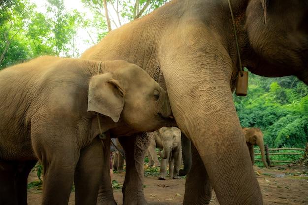 Babyolifanten drinken melk van moeder.