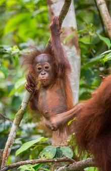 Babyorang-oetan in het wild. indonesië. het eiland kalimantan (borneo).