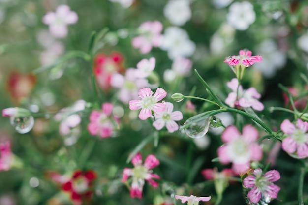 Babysbreath gypsophila bloemen met waterdruppels