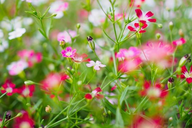 Babysbreath gypsophila bloemen op weide