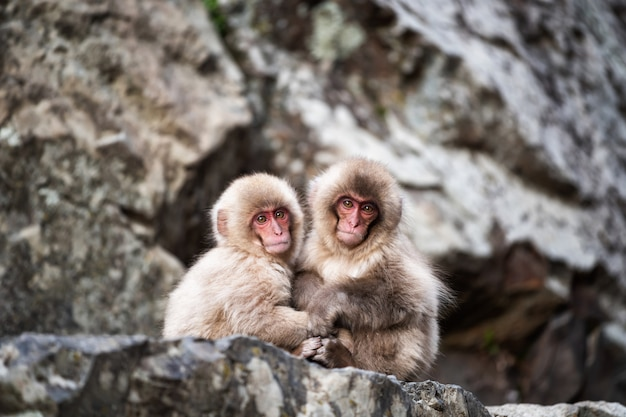 Babysneeuw apen in jigokudani park, yamanouchi