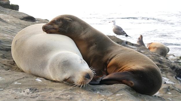 Babywelp, zeeleeuwjong en moeder. zeehonden op ocean beach, californië. slaperig dier op kust.