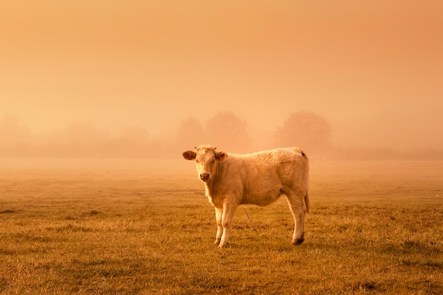 Backlit vee grazen in een veld bij zonsondergang.