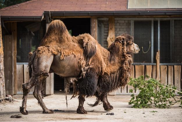 Bactrische kameel camelus bactrianus met twee bulten in een dierentuin