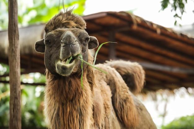 Bactrische kameel heeft twee bulten voor het opslaan van vet veranderd in water, energie als voeding niet