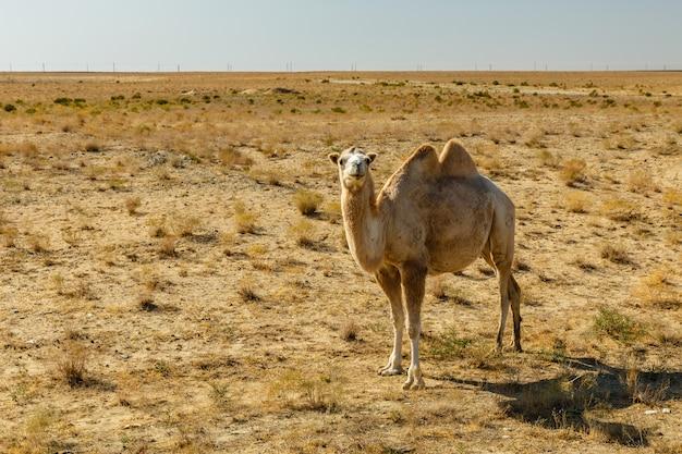 Bactrische kameel, kameel in de steppen van kazachstan, aral