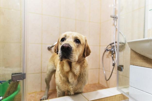 Baden van de gele labrador retriever. gelukshond die een bubbel neemt