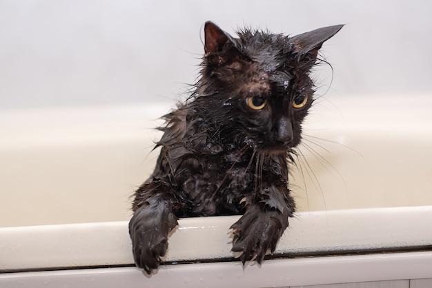 Badende natte zwarte kat met gele ogen
