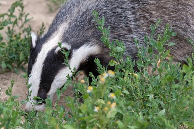 Badger in het british wildlife centre