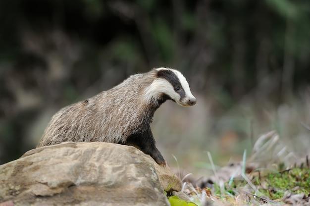 Badger op steen in het bos van de lente close-up