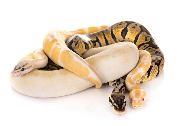 Bal pythons geïsoleerd