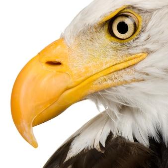 Bald eagle (22 jaar) - haliaeetus leucocephalus vooraan op een witte geïsoleerd