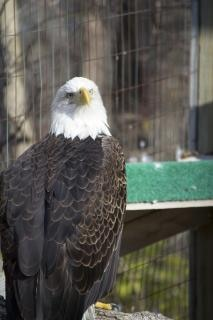 Bald eagle bald