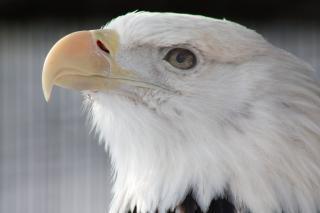 Bald eagle, snavel