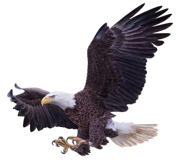 Bald eagle tekening geïsoleerd op een witte achtergrond white