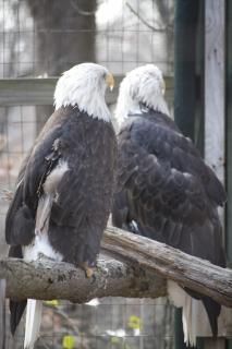 Bald eagles eagles