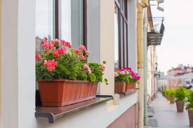 Balkonbloemen, bloesem van roze geranium in de stad