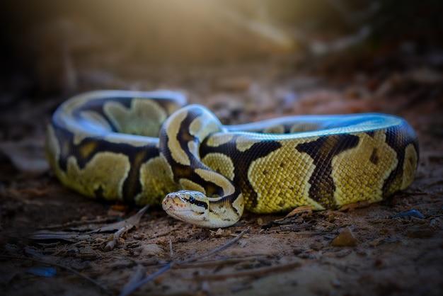 Ball python-slang op gras in tropisch bos
