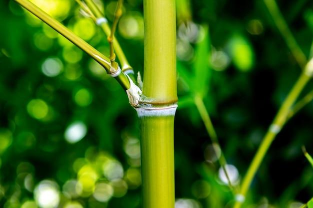 Bamboe dichte omhooggaand