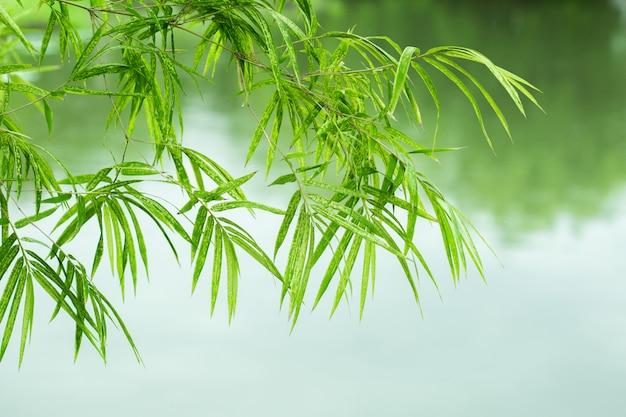 Bamboebladeren met waterachtergrond.