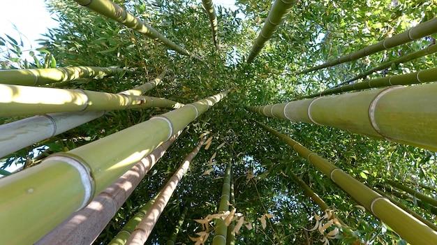 Bamboebos, bamboebos natuurlijk groen