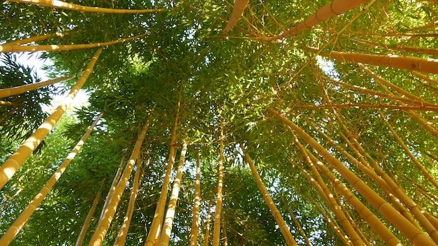 Bamboebos, exotische aziatische tropische groene bomen in japanse of chinese feng shui zen-tuin.