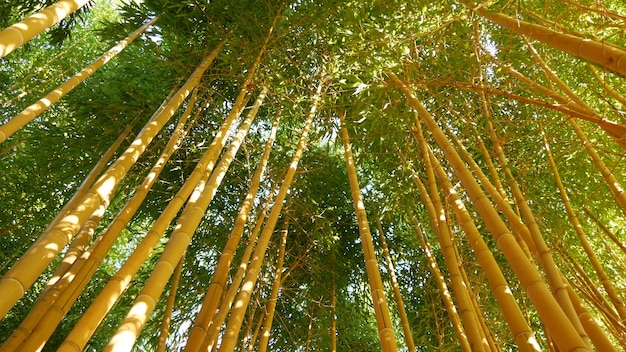 Bamboebos, exotische aziatische tropische sfeer. groene bomen in meditatieve feng shui zen-tuin. rustig kalm bosje, ochtend harmonie frisheid in struikgewas. japanse of chinese natuurlijke oosterse esthetiek